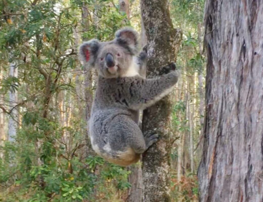 Koala release Coombabah