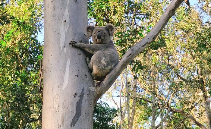 Releasing Charles The Koala