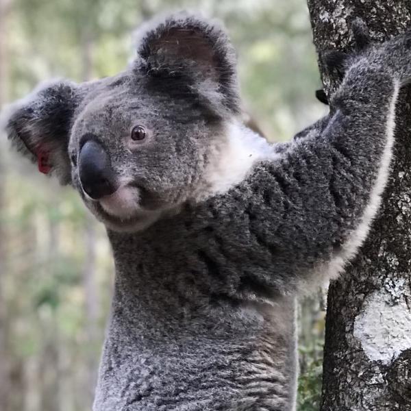 Urban green Koala Connectors