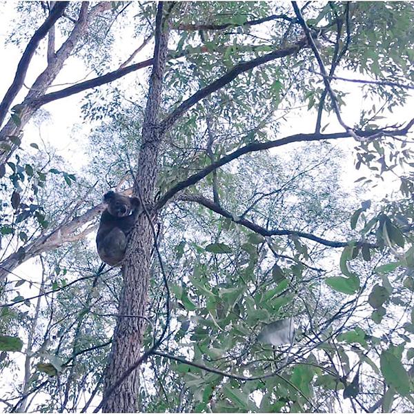 Koalas on the Green