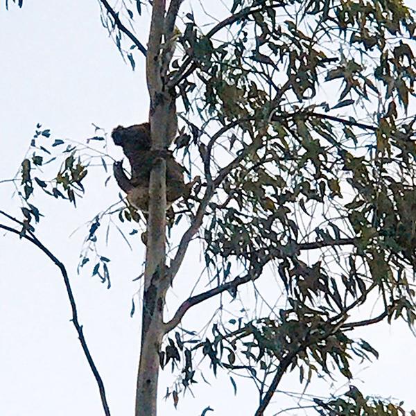 Urban koalas