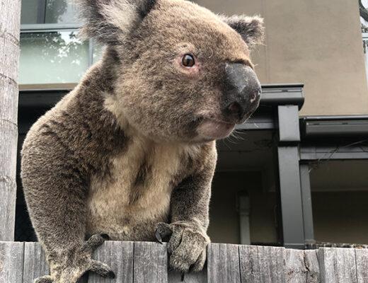 Koala Conscious Community